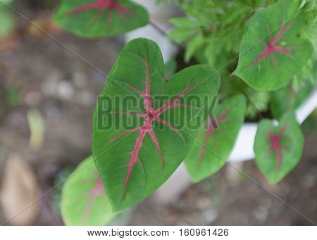 Caladium plant leaves with red and pink markings.