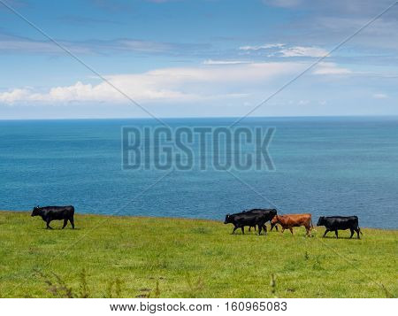 Five cows walking in a field next to the sea in Wales. One of the five cows is brown the others being black.
