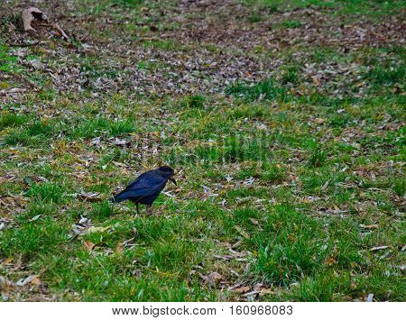 Crow on the grass in a city park