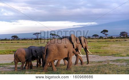 The herd of elephants in the evening to another pasture in Tarangire National Park, Tanzania.