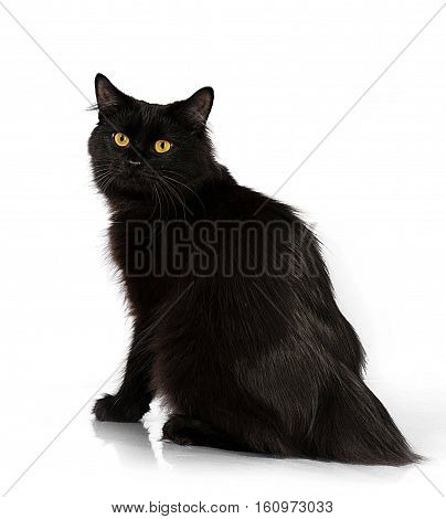 black cat without a tail on a white background