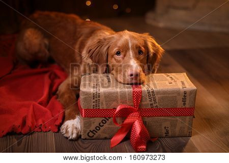 Dog Nova Scotia Duck Tolling Retriever Christmas, New Year, Holidays And Celebration.