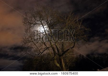 Lonely maple tree in winter moonlit night of cloudy sky.