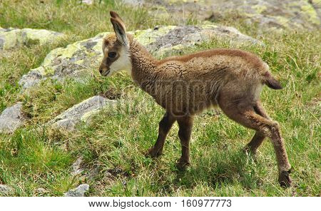 Baby Chamois On The Grass