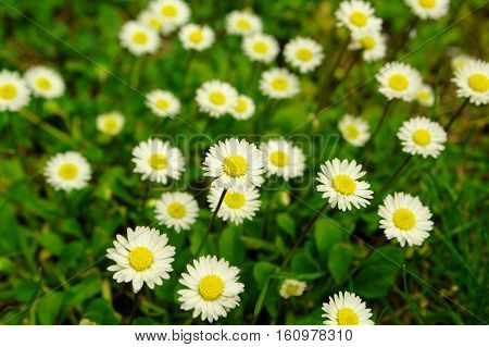 Field of camomile flowers on green grass