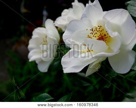 Delicate petals of white roses in garden as the sun goes down in summer with yellow stamen and leaves on rose bush gardening image with room for copy