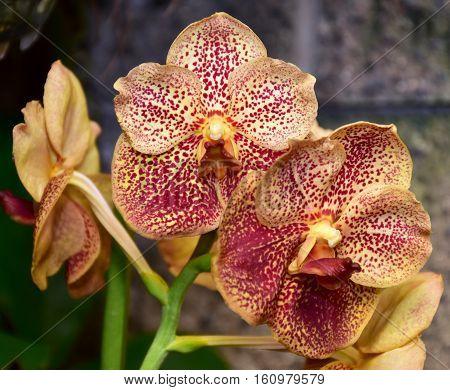 cymbidium hybrid orchid in botanical garden Brno