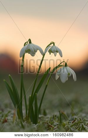 Galanthus nivalis f. flore pleno flowers spring. White snowdrop flower with abstract bokeh background