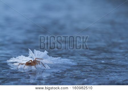 Frozen Spider On Ice In Winter