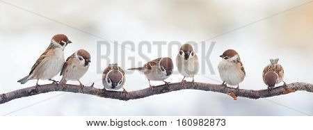 A lot of small funny birds sparrows sitting on a branch on the panoramic picture