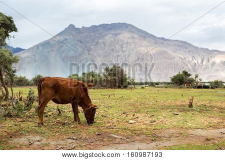 Cows With Natural Landscape In Nubra Valley