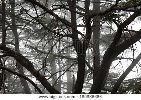 Foggy nature at a cedars forest in Lebanon.