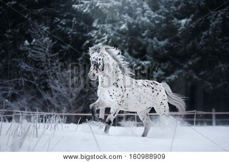 White Spotted Horse Portrait, Walk On The Paddock