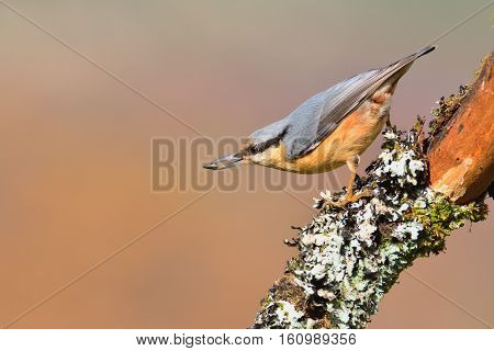 Eurasian Nuthatch With Pipe In The Beak.