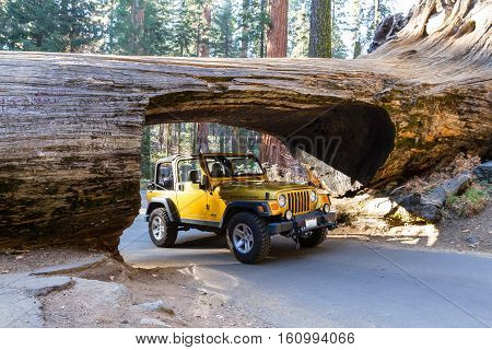 Jeep Going Thru A Sequoia Tunnel