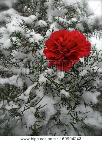 A single red carnation pokes out from snow covered evergreen branches in a fresh, outdoor holiday image in vertical format with room for copy space.
