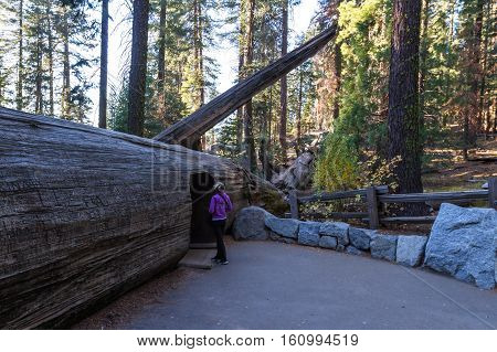 Fallen Sequoia With A Tunnel