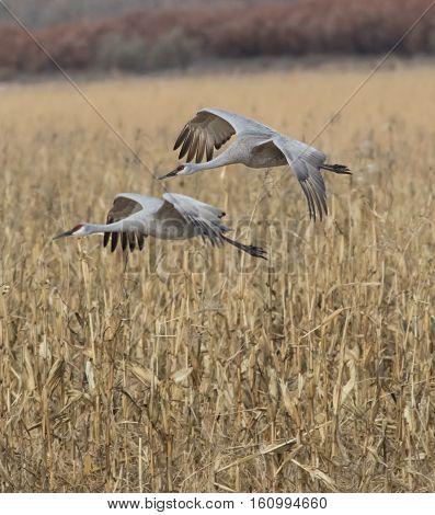 Sandhill Crane landing in a corn field