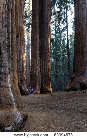 Giant Sequoia Grove In California