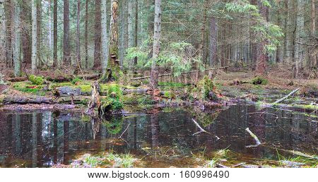 Coniferous stand in spring with water in foreground, Bialowieza Forest, Poland, Europe