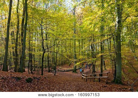 Beech stand in fall and group of tourists climbing small hill, Wolinski National Park, Poland, Europe