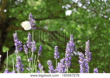A butterfly flapping its wings on a lavender flower.