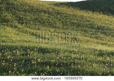 A meadow of yellow flowers with morning dew.