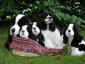 american cocker spaniel in a basket with stuffed look a likes. poster