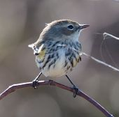 Yellow-rumped Warbler (Setophaga coronata) in non-breeding plumage poster