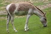 Turkmenian kulan (Equus hemionus kulan), also known as the Transcaspian wild ass. Wildlife animal.  poster