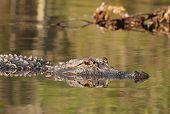 American Alligator (Alligator mississippiensis) swimming on the Suwannee River - Okefenokee Swamp Wildlife Refuge, Georgia poster