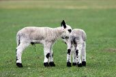 newborn kerry hill lamb in early spring poster