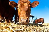 mouth of friendly cattle on straw with blue sky poster