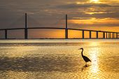 Great Blue Heron silhouetted at sunrise with the Sunshine Skyway Bridge in the background - Fort De Soto Park St. Petersburg Florida poster