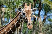 Head and neck portrait of a reticulated giraffe poster