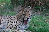 Cheetah with sharp teeth snarling with his mouth open. poster