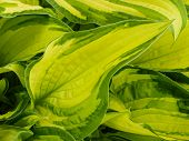 Hostas are herbaceous perennial plants growing from rhizomes or stolons with broad lanceolate or ovate leaves. They are shade tolerant and also known as plantain lilies. poster