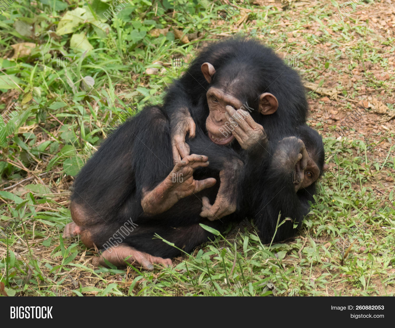 Chimpanzee Consists Image & Photo (Free Trial) | Bigstock