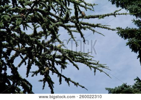 Conifer Branches Reaching Out In The Sunshine