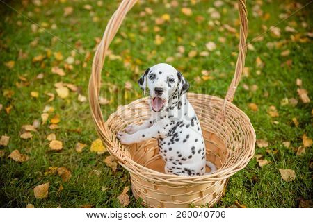 Dalmatian Puppy With Black Spots Standing In A Basket.funny, Cute , Small And Beautiful Young Dalmat
