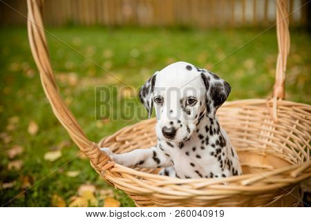 Dog Breed Dalmatian On A Walk Beautiful Portrait.dalmatian Puppy In A Meadow In Fall Season. Autumn