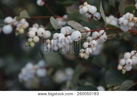 White Berries On The Symphoricarpos Albus Plant Also Known As The Common Snowberry On A Street In Ni