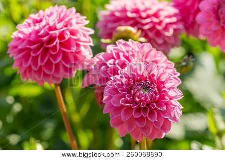 Close-up Of A Beautiful Pink Dahlia Flower (asteraceae) In The Morning Light.  View To Blooming Dahl