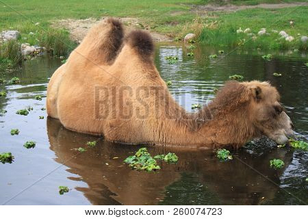 Bactrian Camel In A Pond Eating Water Plants.