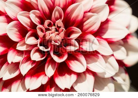 Close-up Of A Purple Ball Dahlia Tomo (asteraceae) Flower In The Light Of The Morning Sun.  View To
