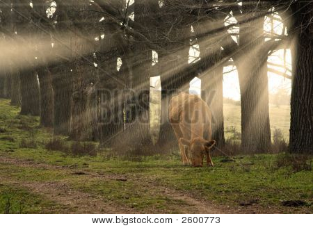 a cow eats grass in the morning with sun rays coming through the trees poster