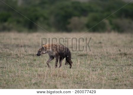 A Spotted Hyena In A Savannah In Masai Mara Game Reserve, Kenya