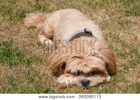 Red Lhasa Apso Dog Lying Down In A Garden