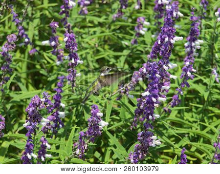 A  Small Hummingbird Visits A Garden Designed Especially For Hummingbirds And Butterflies And Bees.