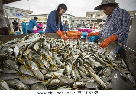 Samutsakorn Thailand - September8,2018 : Unidentified Worker Collecting Size And Kind Of Fish Was Ca